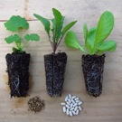 Vegetable Gardens, Community Gardens: Seedlings for a community garden workshop.
