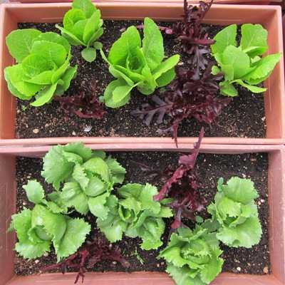 Lettuce in containers in Urban Rooftop Vegetable Gardens.